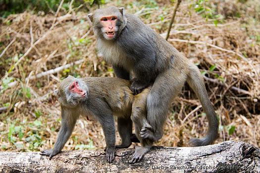How Do Monkeys Mate | galleryhip.com - The Hippest Galleries!